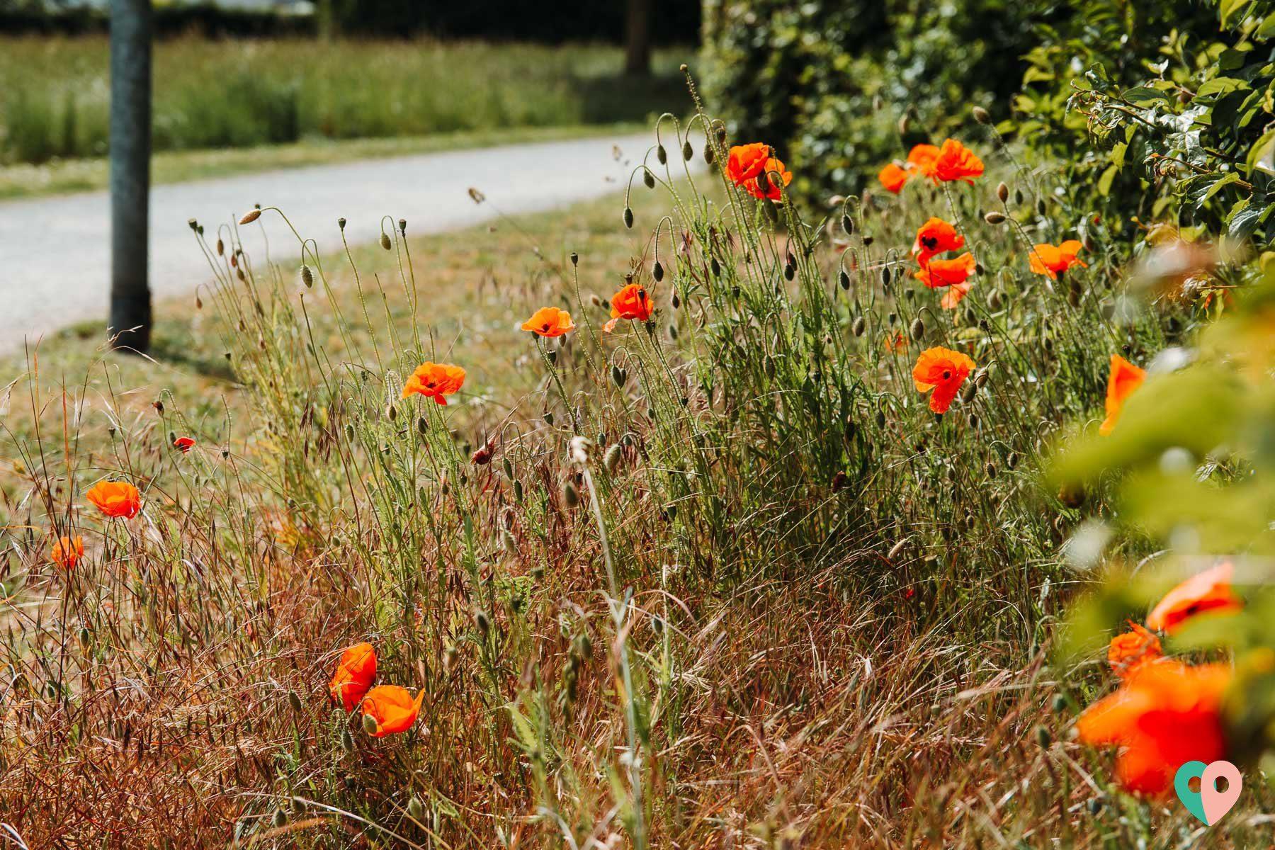 Mohnblumen - WaWaWe Nette Seen im Naturpark Schwalm-Nette